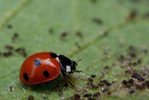 Pour jardiner sans pesticides, il faut aménager le jardin de façon à accueillir la faune des auxiliaires du jardinier, comme cette coccinelle qui dévore les pucerons. © Pil CC by-nc-nd