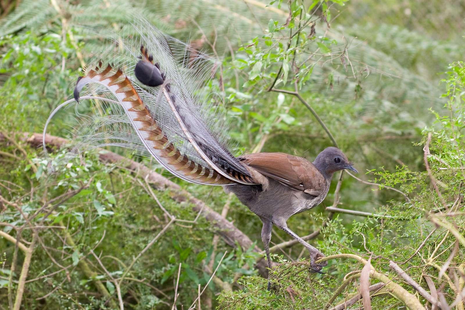 Le ménure superbe est une espèce d'oiseau-lyre mesurant environ un mètre, ce qui fait de lui le plus long de tous les passereaux ! © Fir0002, Wikipédia, GFDL 1.2