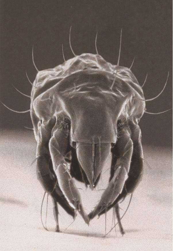 Un ciron observé au microscope électronique. © oocities.com