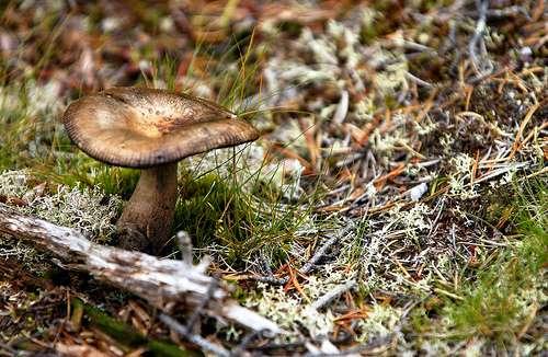 Les champignons tirent le carbone nécessaire à leur croissance du carbone organique issu de la dégradation de la matière organique. © peupleloup CC by-sa