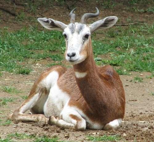 La gazelle Dama (Gazella dama) est passer du statut « En danger » en 1996 à « En danger critique d'extinction » en 2006. © Domaine public