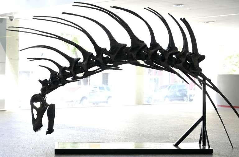 Photo d'une réplique de Bajadasaurus pronuspinax, espèce de dinosaure herbivore dotée d'épines défensives le long de la colonne vertébrale de la famille des dicraeosauridés, qui vivait il y a 140 millions d'années, présentée le 4 février 2019 à Buenos Aires. © Juan Mabromata - AFP