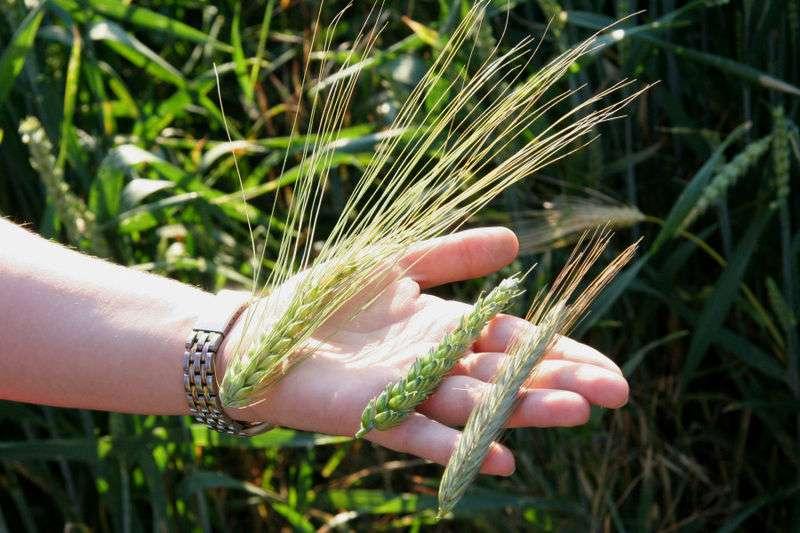 Les céréales comme le blé, l'orge et le seigle contiennent du gluten. © Timo1974 / Licence Creative Commons