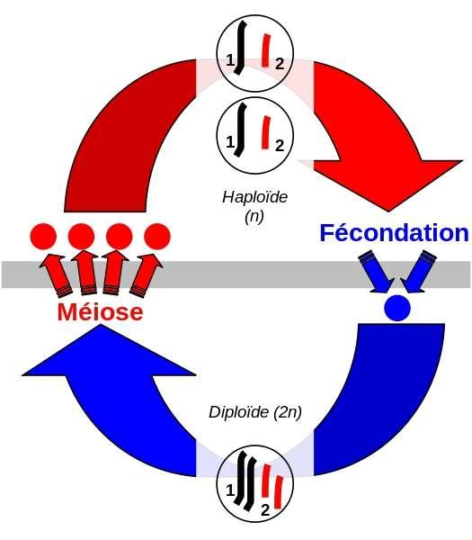 Cycle de vie d'un organisme diploïde sexué, qui possède deux copies de chaque chromosome. La méiose permet de produire des gamètes ne possédant qu'une seule copie de chaque chromosome (haploïde). La fécondation, fusion de deux gamètes, permet de réobtenir des cellules diploïdes. © Otourly, Wikimedia Commons, CC by-sa 3.0