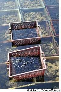 La tempête Xynthia a laissé aussi des traces dans la mer... et dans les mollusques, en particulier ceux qui, à l'instar des moules, se nourrissent en filtrant l'eau. © Richard Villalo/Fotolia