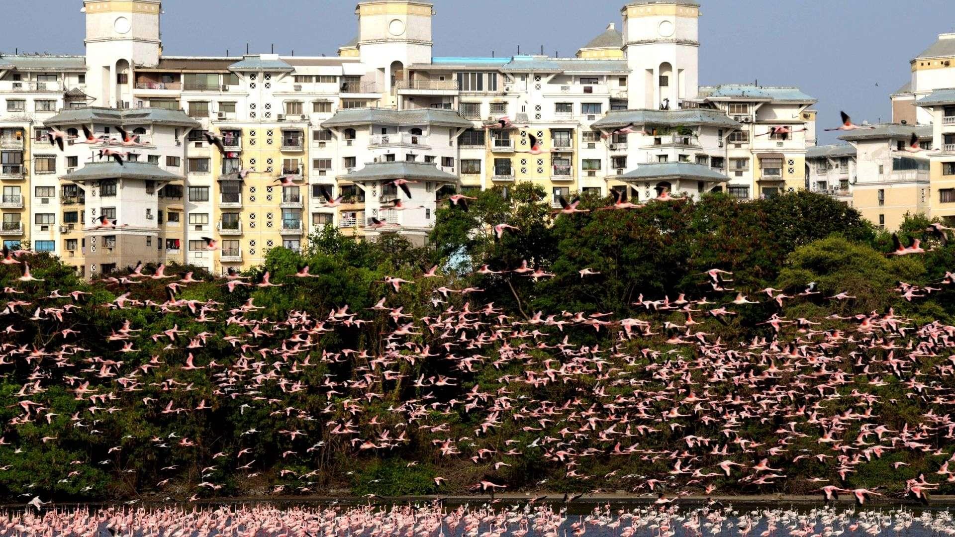 Des milliers de flamants roses ont investi les zones humides aux abords de Nerul, en Inde. © Zhan Gao, Twitter