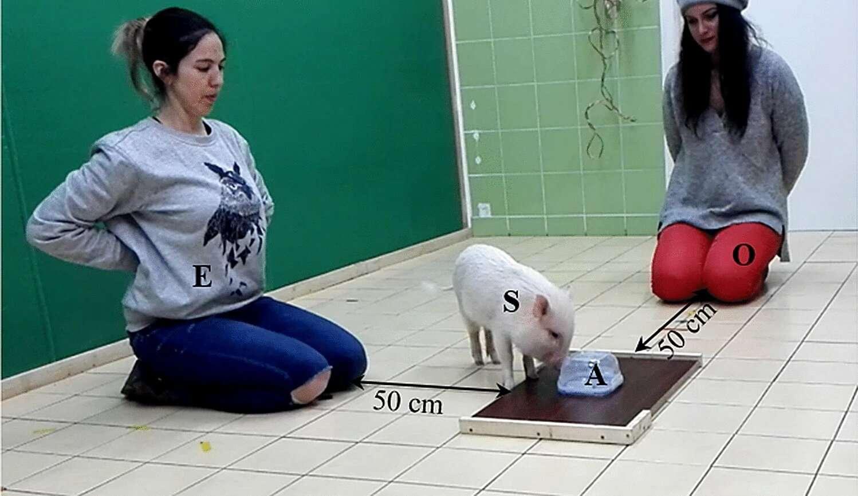 Le dispositif expérimental comportait l'animal (chien ou cochon), une boîte contenant de la nourriture, une personne inconnue de l'animal, et son humain adoptif. © Paula Pérez Fraga et al., Animal Cognition
