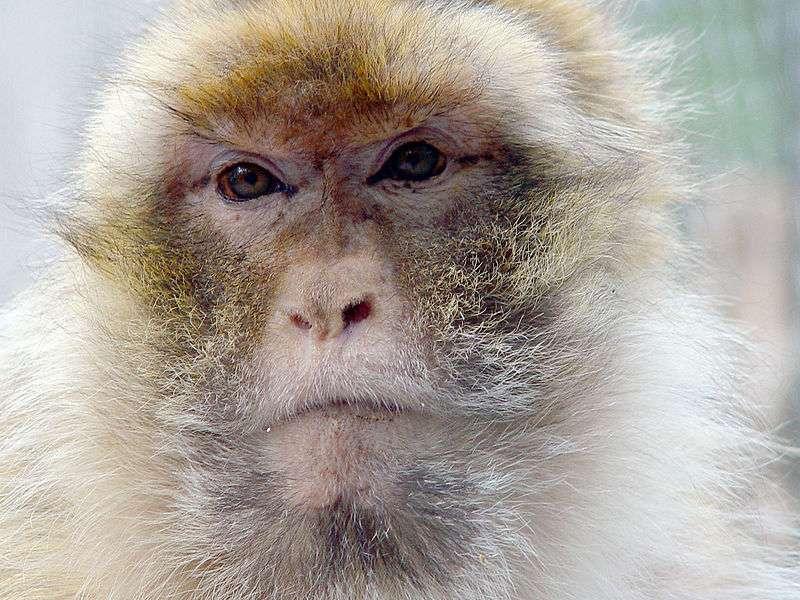 Les macaques berbères sont les seuls macaques vivant sur le continent africain à l'état sauvage. Pour leur étude, les chercheurs sont allés les observer dans la Trentham Monkey Forest, au Royaume-Uni. © ArtMechanic, Wikimedia Commons, cc by sa 3.0