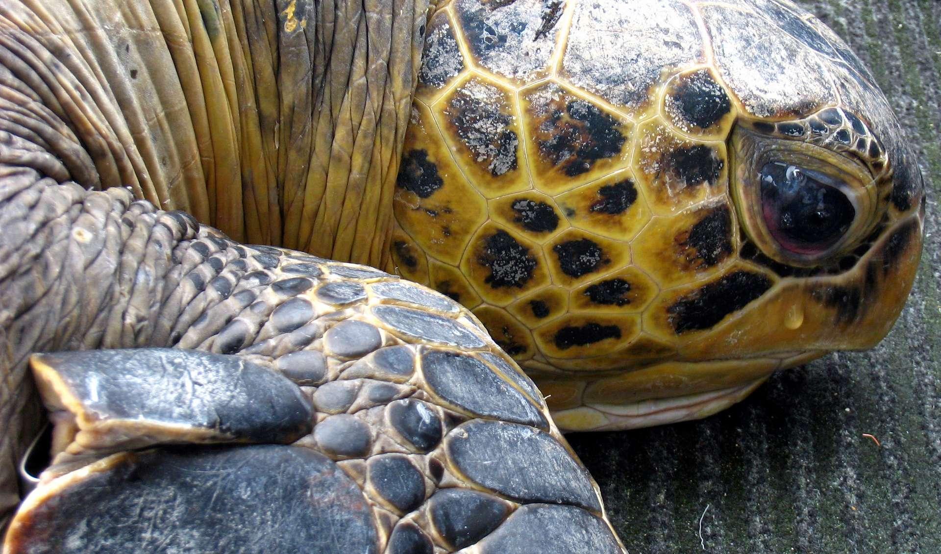 Les tortues sont menacées par la destruction de leur habitat due à la montée des eaux. © go elsewhere, Flickr