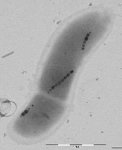 Un chaîne de nanoparticules de magnétite dans une bactérie. La barre en bas à droite représente 500 nm. Crédit : AMES Laboratory
