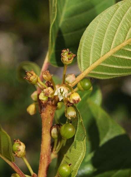 En phytothérapie, la bourdaine est un puissant laxatif. © F. Le Driant/FloreAlpes.com