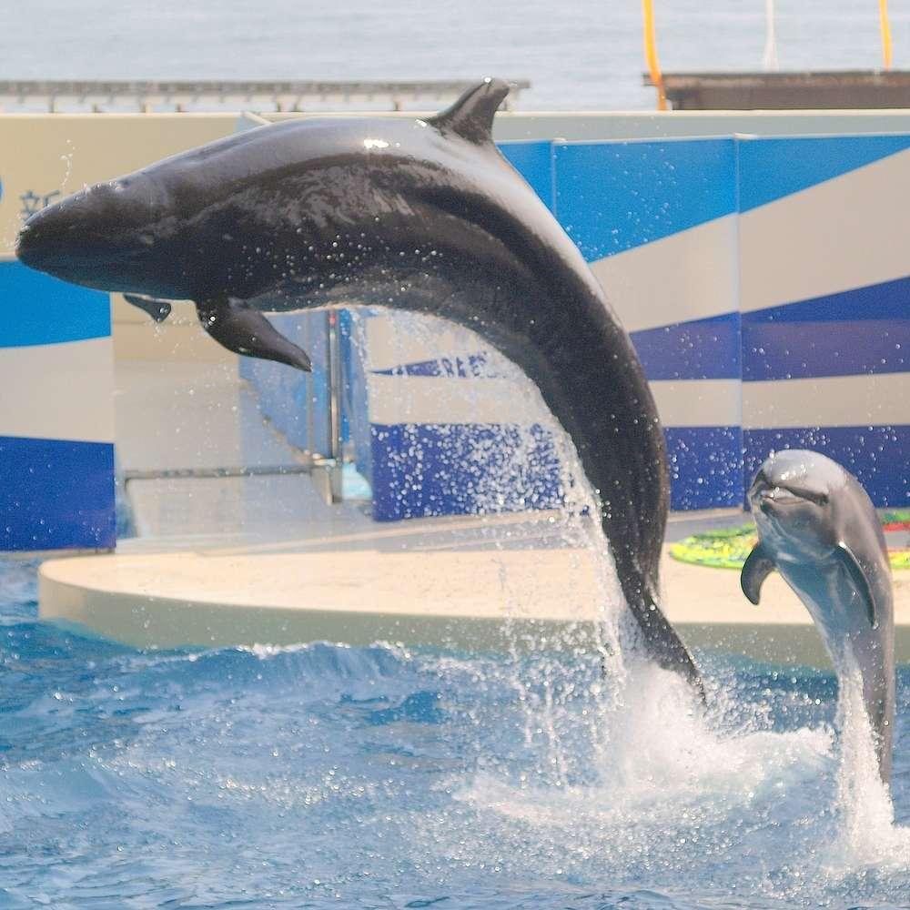 Réputée facile à dresser, la fausse orque est capturée pour les delphinariums. Elle partage souvent son bassin avec d'autres espèces de dauphins, comme ici le grand dauphin. © OpenCage, Wikipédia, cc by sa 2.5