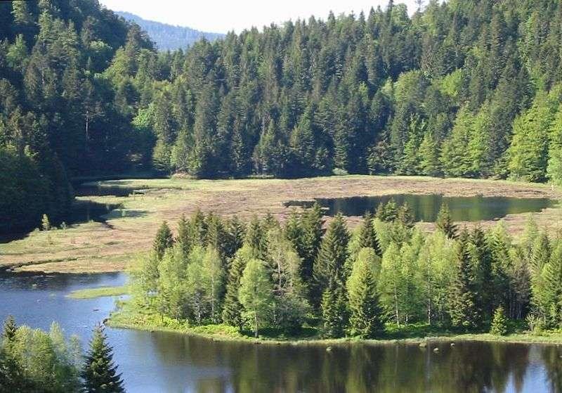 Les tourbières sont majoritairement constituées de sphaignes. Celles-ci vivent dans des milieux gorgés d'eau, n'ont pas de racines et peuvent stocker jusqu'à 90 % de leur poids en eau. C'est grâce à elles que la tourbe se forme, et donc que le carbone atmosphérique est accumulé. © Christian Amett, Wikipédia, cc by sa 2.5