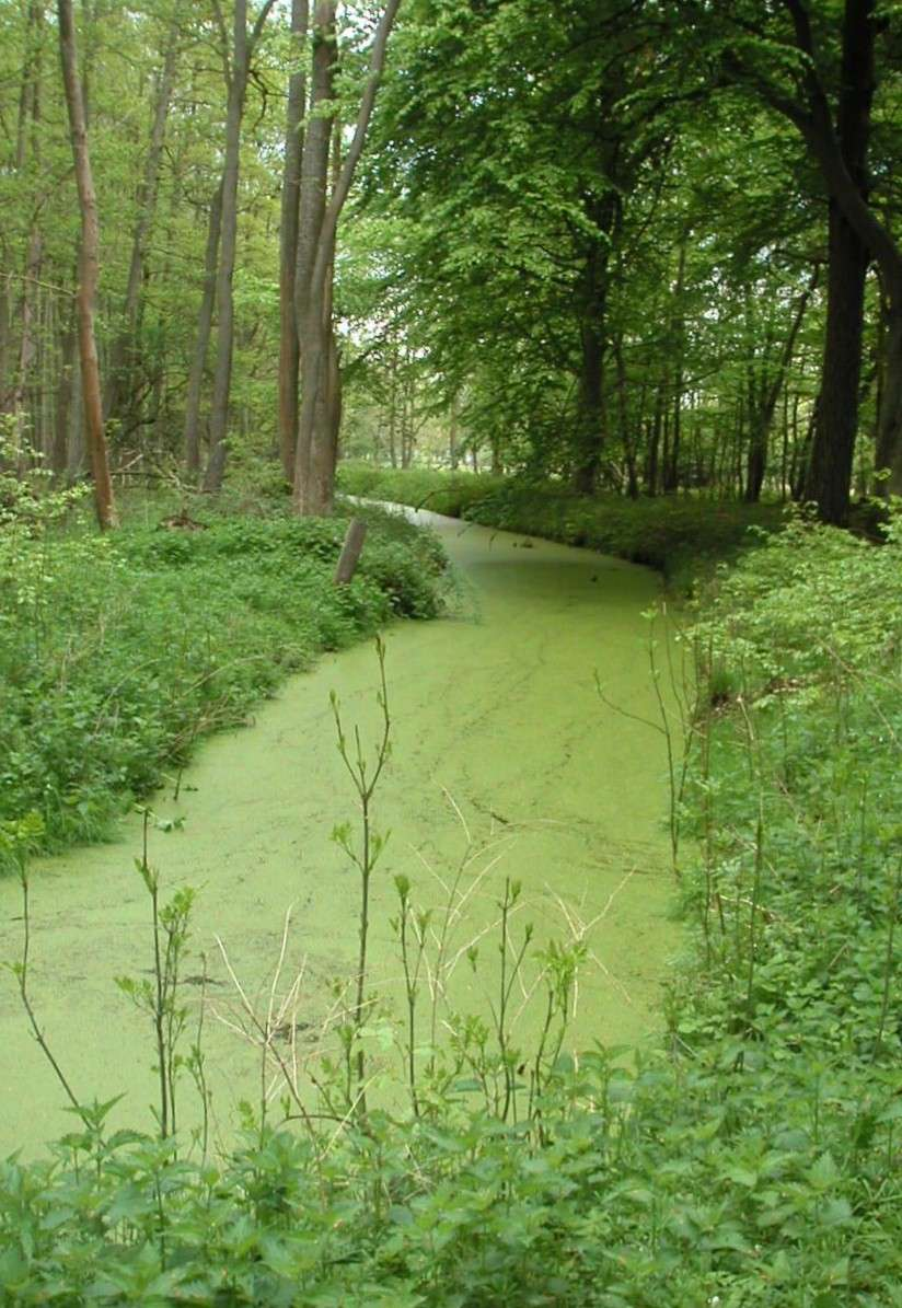 Ce cours d'eau circulant lentement est pollué aux nitrates, qui provoquent une efflorescence algale en surface. © Abubiju, Wikipédia, GNU 1.2