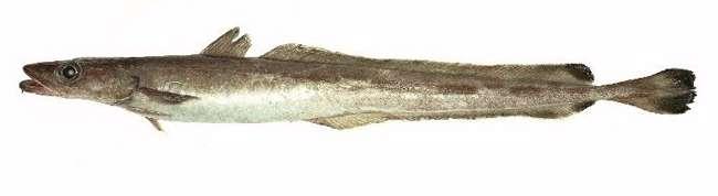 La lingue bleue se pêche depuis les années 1970 et représente aujourd'hui le plus fort tonnage de la pêche profonde mondiale. © Ifremer