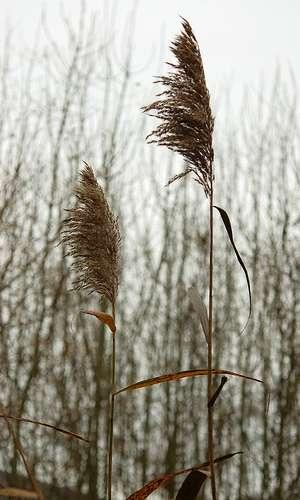 Le roseau est un macrophyte. © Marylise Doctrinal, Flickr, CC
