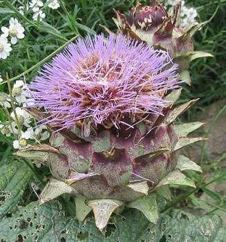 Parmis les beaux légumes, l'artichaut possède de belles couleurs © GNU Free Documentation License Wikipedia