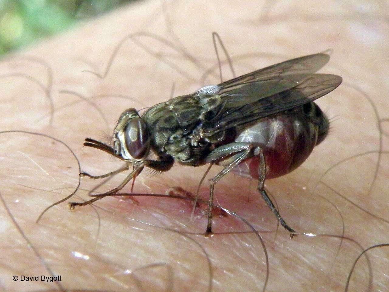 En connaissant le génome de la mouche tsé-tsé, les chercheurs espèrent trouver de nouvelles solutions d'éradication de cet insecte. © David Bygott, Flickr, cc by nc sa 2.0