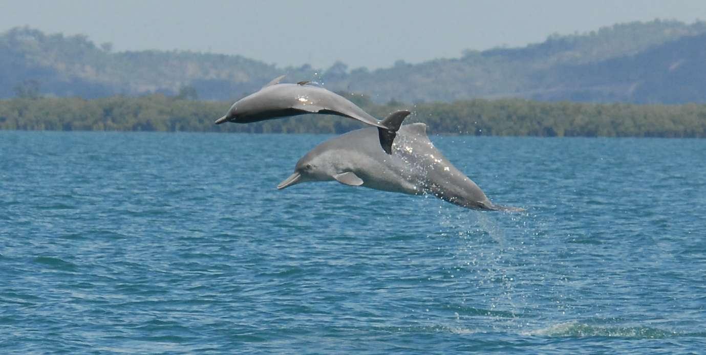 Jusqu'à présent, les autorités ne reconnaissaient que trois espèces de dauphins à bosse, réparties en deux groupes. D'après une nouvelle étude, il existerait au moins une espèce de plus et un des deux groupes doit être scindé. © Guido J. Parra, www.cebel.org.au