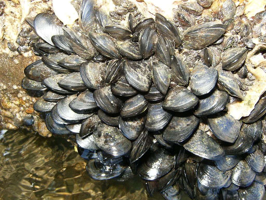 Dans la nature, les moules s'accrochent aux rochers grâce à des protéines adhésives très efficaces et conservant leurs propriétés dans l'eau. © Chris.urs-o, Wikimedia Commons, cc by sa 3.0