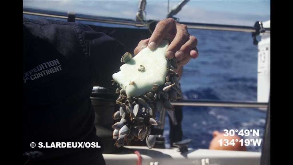 Ce macrodéchet de plastique a été découvert dans la zone d'accumulation est de l'océan Pacifique, durant l'expédition 7e continent, le mois dernier. Les mollusques s'en servent au même titre que les rochers ou récifs. Ces déchets de plastique sont aujourd'hui de véritables nouveaux récifs, nids de microbes en tout genre, tels que le choléra. © Soizic Lardeux, OSL
