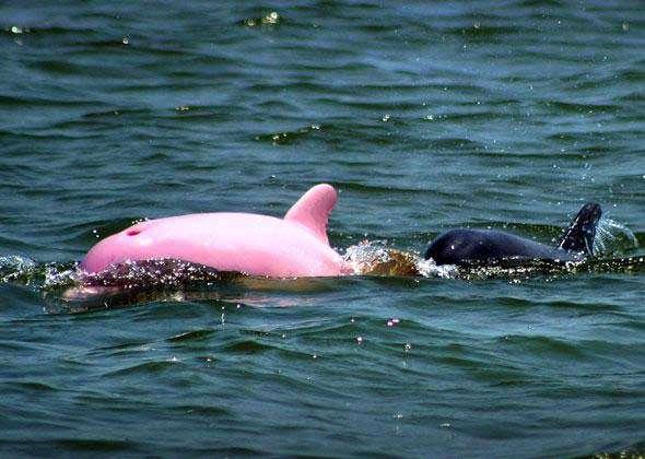 Pinky nageant en compagnie d'une femelle qui devrait être sa mère. Crédit : Caters News