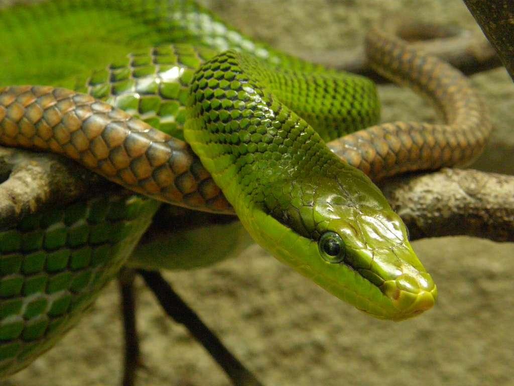 Elaphe est un genre de couleuvres non venimeuses. Les espèces sont élancées, ont la tête carrée et le ventre plat. Ici, on voit Elaphe oxycephala, ou le serpent ratier des mangroves en français. © belgianchocolate, cc by 2.0