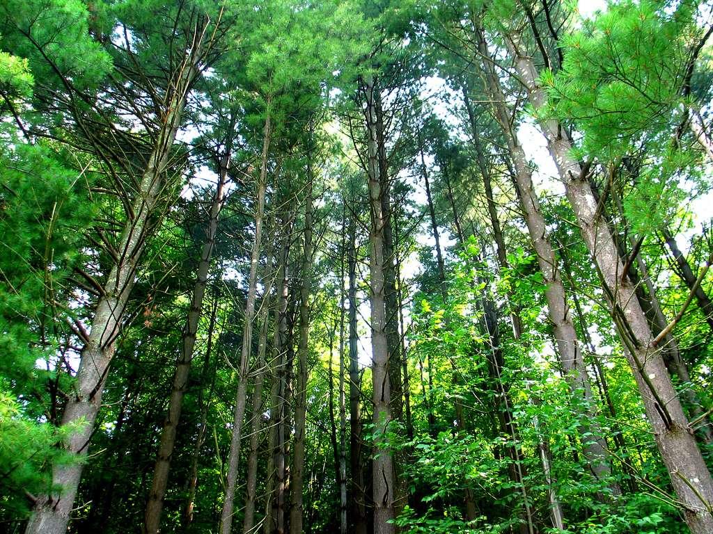 De fortes concentration en carbone atmosphérique influent sur la physiologie des arbres. © taberandrew/Flickr Licence Creative Commons (by-nc-sa 2.0)