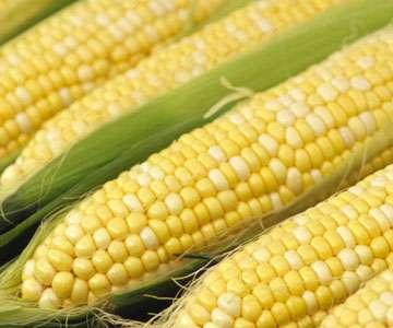 Le génome du maïs est complexe : 10 chromosomes portant environ 50.000 gènes, avec présence de duplications et de nombreuses séquences répétées (rétrotransposons). L'approche menée par les chercheurs a consisté à décrypter au moins partiellement la séquence. © DR