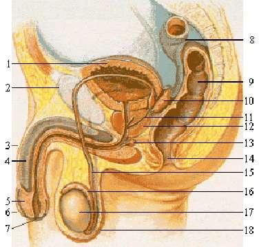 Les testicules sont le lieu de la production des spermatozoïdes. 1. Vessie urinaire 2. Pubis 3. Pénis 4. Corps caverneux 5. Gland 6. Prépuce 7. Méat 8. Côlon sigmoïde 9. Rectum 10. Vésicule séminale 11. Canal éjaculateur 12. Prostate 13. Glande de Cowper 14. Anus 15. Canal déférent 16. Épididyme 17. Testicule 18. Scrotum. © BMF81, Wikipédia CC by-sa 3.0