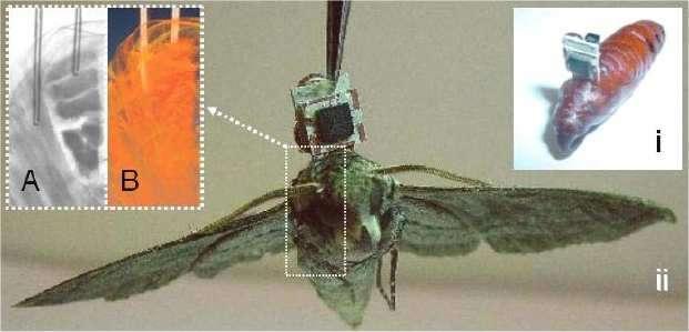 L'implant est fixé sur la chrysalide (i) et reste à sa place sur l'adulte (ii). Les électrodes sont enfoncées dans les muscles des ailes (a et b). © MEMS 2008/Technical Digest