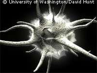 Cellule dendritique