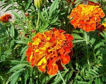 La culture de légumes plus facile grâce aux plantes ! ©Fir002 GNU Free Documentation License Wikipedia