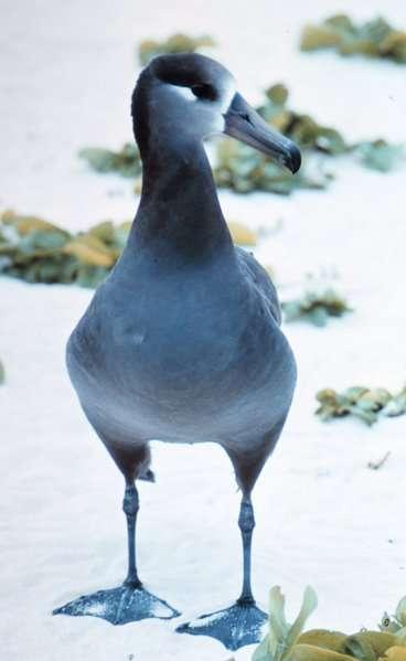 Photo d'un albatros à pieds noirs. © Dr James P. Mc Vey, NOAA, domaine public