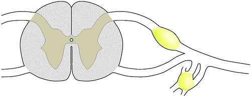 Coupe de la moelle épinière au niveau d'une racine nerveuse. Les deux branches de la racine, dorsale (en haut) et ventrale (en bas), se réunissent pour former le nerf spinal. © Euskalanato CC by-nc-sa 2.0