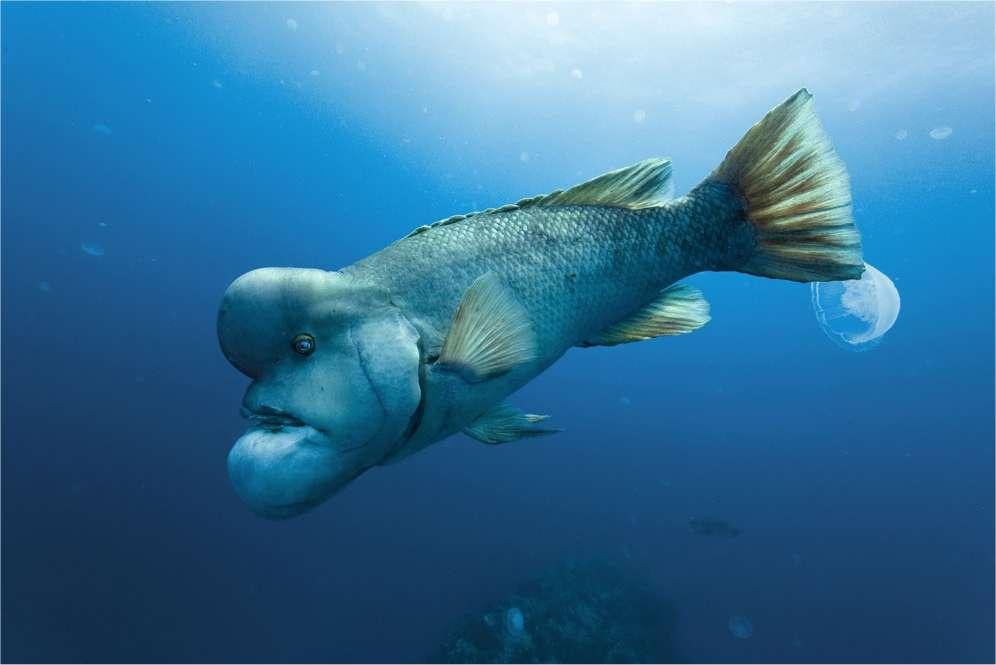Le labre à tête de mouton, un poisson étonnant, à retrouver dans notre galerie photos.