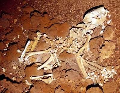 En 2002, un squelette complet de lion marsupial a été trouvé dans une grotte de Nullarbor. De la taille d'un léopard, Thylacoleo carnifex pesait 250 kg. Son espèce a vécu entre 2 millions d'années et 10 000 ans avant le présent. Crédit : Clay Bry