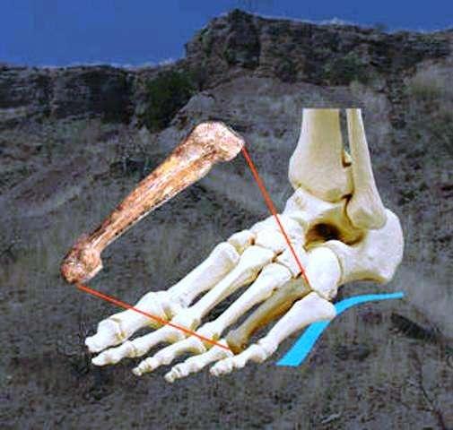 Cette image montre la position du quatrième métatarsien d'un Australopithecus afarensis (AL 333-160) trouvé dans la région de l'Hadar, en Éthiopie. © Carol Ward et Kimberly Congdon
