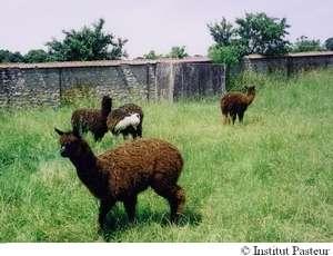 Le lama possède des anticorps spéciaux... qui pourraient être utilisés dans le diagnostic précoce d'Alzheimer ! © Institut Pasteur