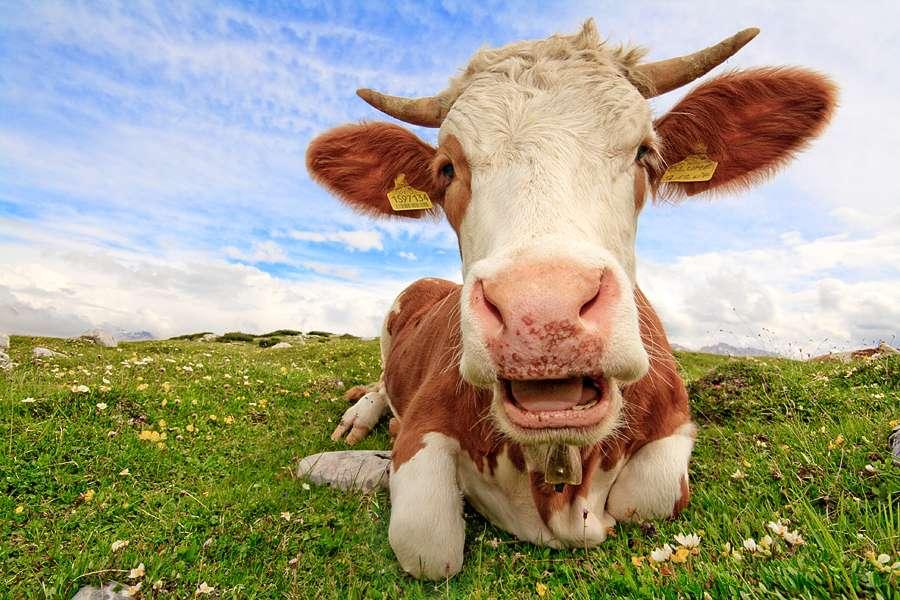 La crise de la vache folle a fait beaucoup de bruit et a semé la panique en Europe au cours des années 1990. Selon une nouvelle étude, l'impact des prions va au-delà de ce que l'on croyait. En effet, il existerait un réservoir de prions caché à l'intérieur de la population et prêt à émerger. © ecatoncheires, Flickr, cc by nc sa 2.0