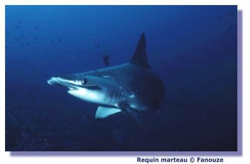 Un requin-marteau naît sans père : une première !