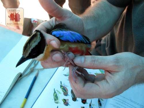 Des filets suspendus ont été placés afin de collecter des oiseaux pour en réaliser des mesures et identifications. Ils ont ensuite été relâchés. © Johann Haug/SBP