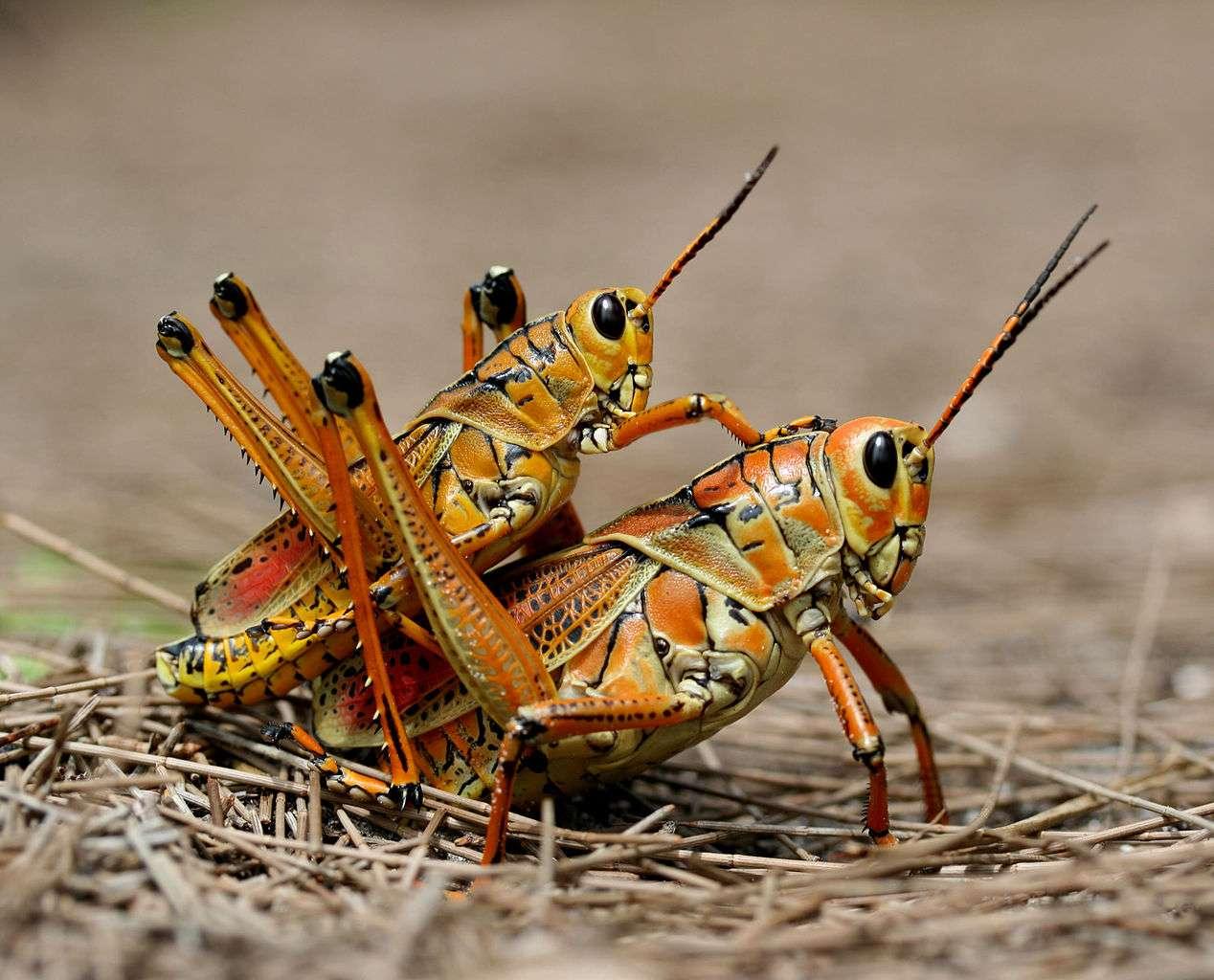 Romalea microptera est un exemple de paurométabole hétérométabole. La femelle pond un œuf qui livre une réplique identique de l'adulte sans ses ailes. © www.birdphotos.com, GNU 1.2