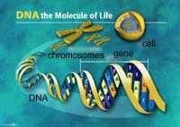 Localisation des gènes liés à la longévité CIRS