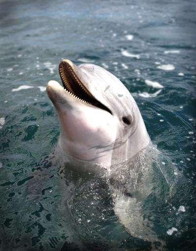 Voici Say, le dauphin Tursiops truncatus qui est resté alerte et attentif durant 360 heures, de jour comme de nuit. Cet animal appartient au sous-ordre des odontocètes, les cétacés à dents. © Brian Branstetter