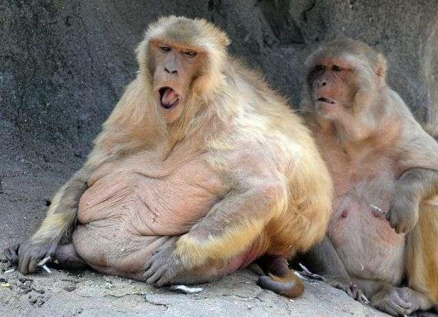 Les singes obèses ayant reçu le traitement expérimental ont perdu 11 % de leur poids en quatre semaines. © AFP photo/Kazuhiro Nogi