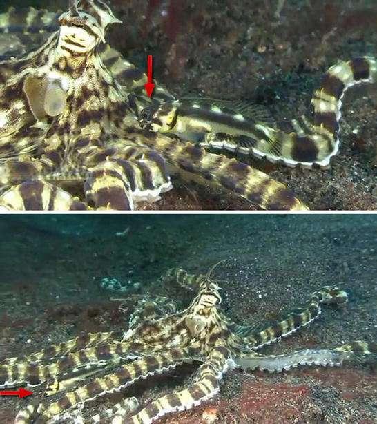Le poisson Stalix histrio (montré par les flèches rouges) pratiquerait le mimétisme par opportunisme puisqu'il a la même couleur que la pieuvre. Cette association n'est possible que lorsque les aires de répartition des deux espèces se chevauchent. © Ross et al., 2011