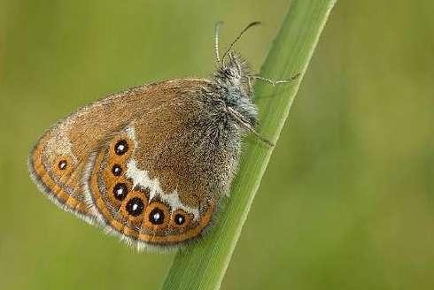 Le mélibée, Coenonympha hero, est un papillon attiré par les prairies de molinie, une graminée. © David Demerges