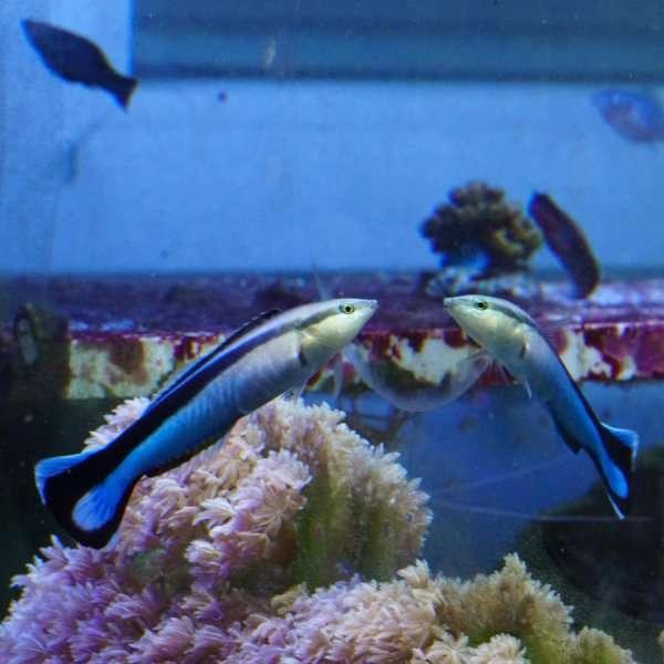 Le labre nettoyeur commun (Labroides dimidiatus) est le premier poisson à se reconnaître dans un miroir. Peut-on en déduire qu'il a conscience de son propre corps ? Une telle interprétation reste controversée. © Alex Jordan