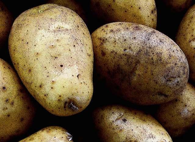 La pomme de terre génétiquement modifiée, comme toutes les autres cultures OGM, est interdite en France. &copy, Esteban Cavrico